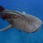 The Whale Shark is listed as Vulnerable and Migratory. Photo Credit: Ningaloo Coast and Coral Bay.