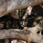 Feral cat spotted along the Chapman River. Photo supplied by Sandra Rowe.