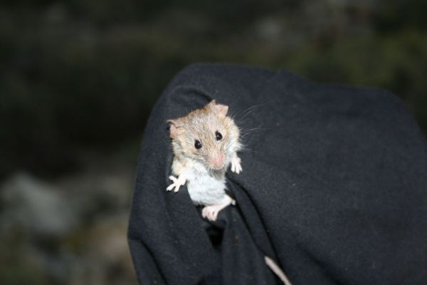 A house mouse (Mus musculus) being checked for signs of consumption of non-poisonous UV baits at Rat Island.