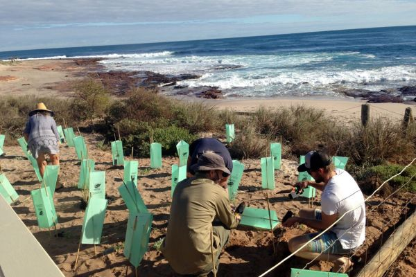 Kalbarri Boardriders revegetating dunes at Jaques Point whilst trying not to get distracted by the surf in the background.