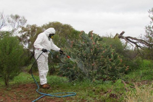 Rangers carry out spraying works against the invasive prickly pear.