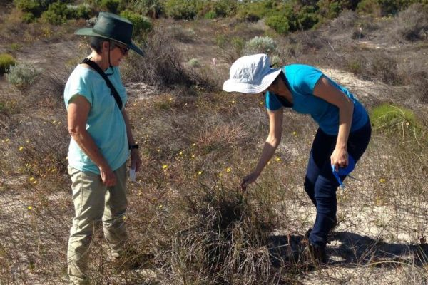 Volunteers at Jurien Bay tagging Pyp Grass for future control works.