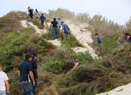Dune brushing with the Green Head Coastcare Group. Dune brushing helps stabilise and rehabilitate dunes, and is a great team activity!