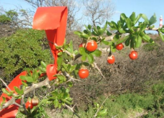 Flagged Boxthorn