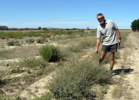 Ian McGillivray inspects his well established saltbush