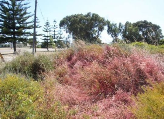 Pink dye marks where Pyp Grass has been sprayed with herbicide