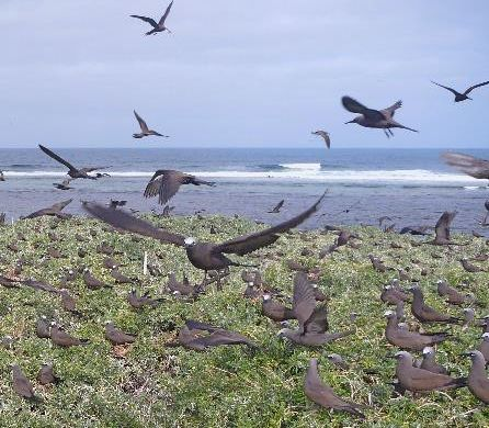 Brown Noddies on Lancelin Island (Photo N. Dunlop).