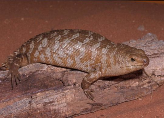 This week's threatened species of the week is the spiny-tailed skink