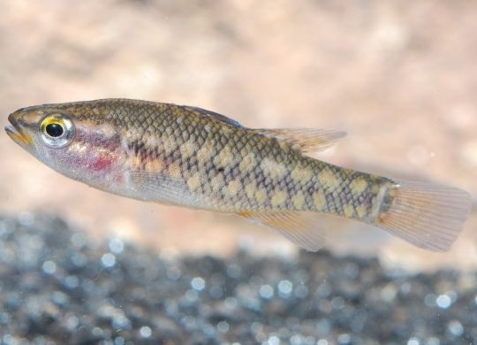 The Balston's pygmy perch is currently regarded as the rarest of all the endemic freshwater fish of Australia's south-west.