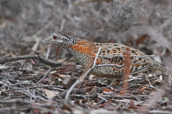 #ThreatenedSpecies of the Week: Painted Button-quail
