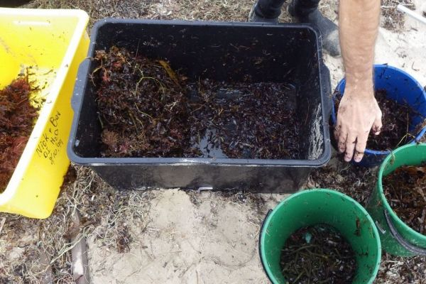 Wrack quantification studies also include recording different components of beach wrack.