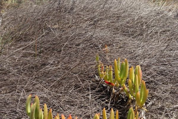 Coastal Pig Face Carpobrotus virescens emerging from dead Pyp Grass in Cervantes.