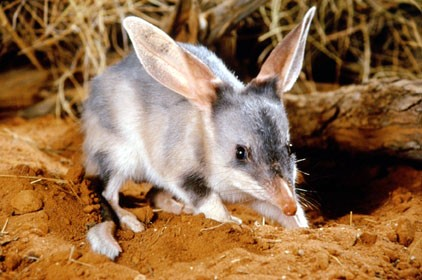 threatenedspecies of the week the greater bilby nacc northern