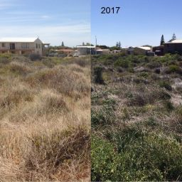 Pyp grass control success at Cervantes