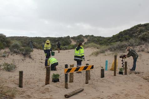 Employees in hi-vis workwear undertaking environmental volunteering planting native seedlings in coastal dunes