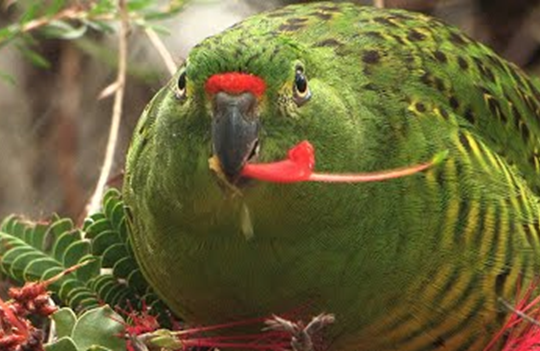 The western ground parrot is an endangered species of parrot endemic to Western Australia.