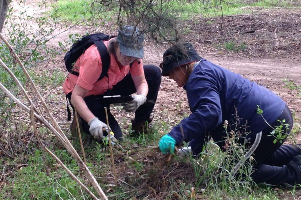 Dongara's Boxthorn Brigade at work – the community getting taking charge of boxthorn seedling control.