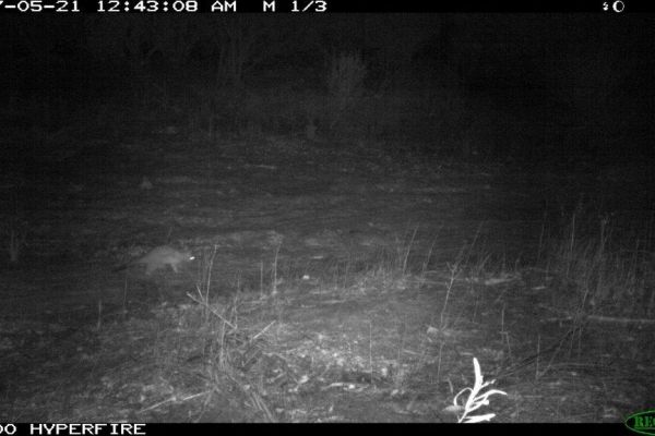 Brushtail Possum captured on motion sensor camera in the northern extent of its range