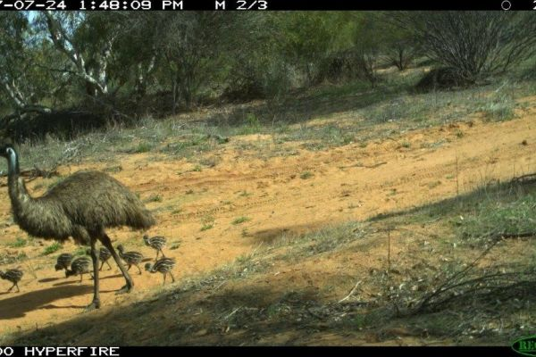 Emu family on a motion sensor camera
