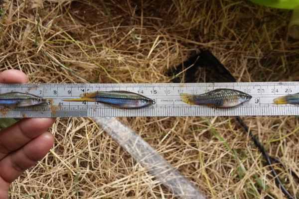 Invasive Swordtails found in the Greenough River