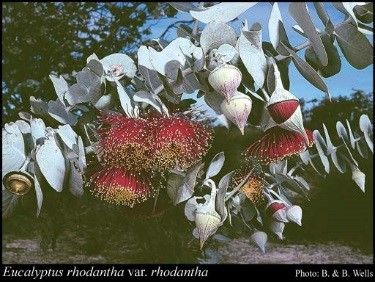 Rose Mallee (Eucalyptus rhodantha) is listed as Vulnerable