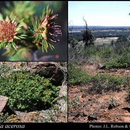 Darwinia acerosa or Fine-leaved Darwinia