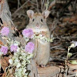 The Greater Stick-nest Rat. Photo credit: Australian Wildlife Conservancy.