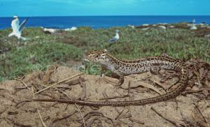 The Jurien Bay Skink. Photo: Spineless Wonders