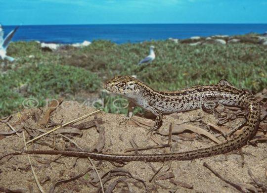 The Jurien Bay Skink. Photo: Spineless Wonders