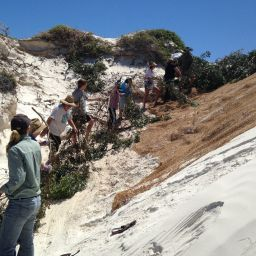 It was great having enough support so that a working chain could be established, helping efficiently get brushing material to the top of the dune. Many hands make light work!