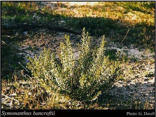 Symonanthus bancroftii. Photo credit: Florabase, DBCA.