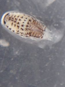 An isopod (an inhabitant of Ledge Point beach wrack)