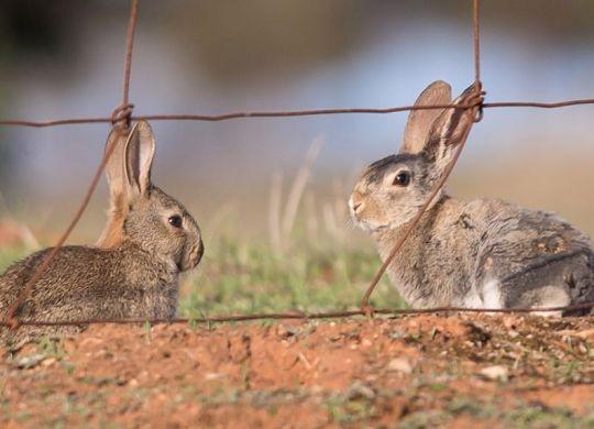 Rabbits_PSC