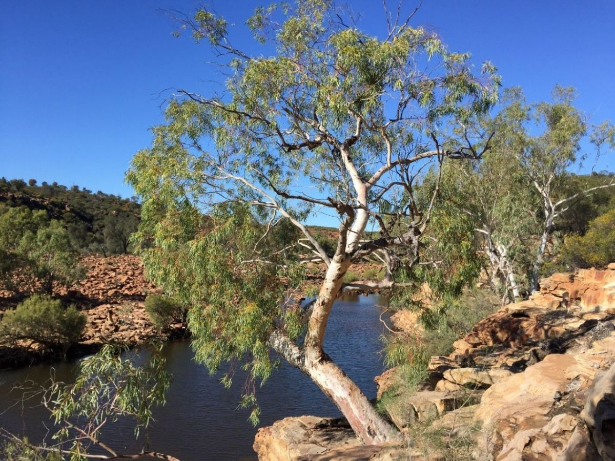 'Local Tree' Wins National 'Eucalypt Of The Year
