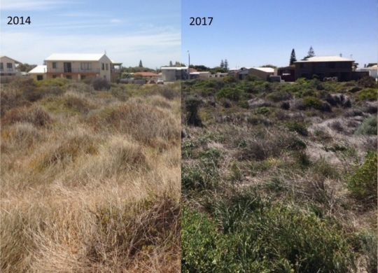 Pyp grass- Before and after in Cervantes coastal dunes. Picture: Alanna Smith via Photomon