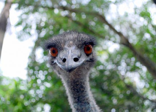 emu-face
