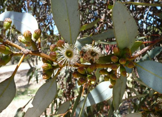 Eucalyptus_dumosa._White_Mallee._Congoo_Mallee._4193874295