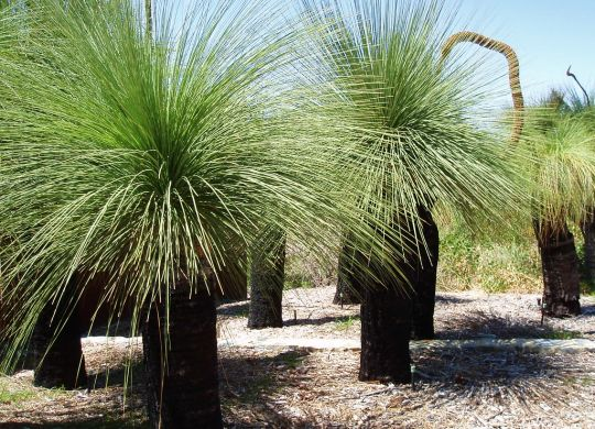 GRASS-TREE