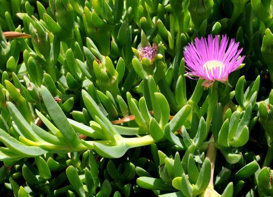 Carpobrotus_modestus_Hottentot_Plant,Pigface_კარპობროტუსი (1)