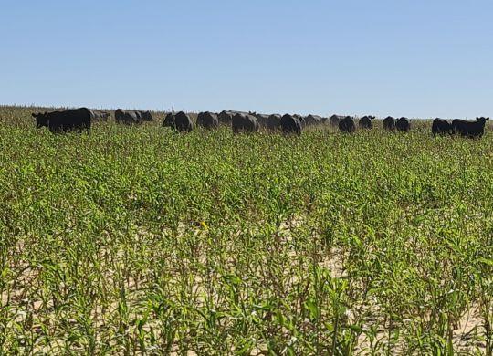 Cosgrove Summer Crops