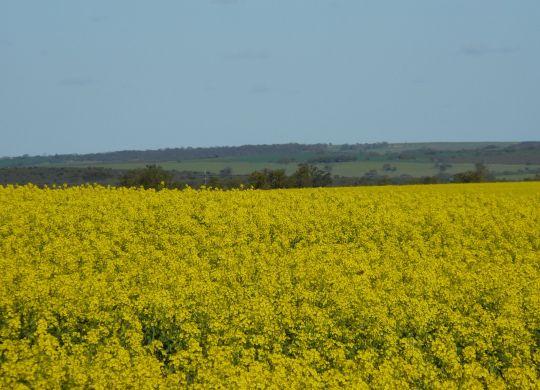 080808 Canola crop 2008