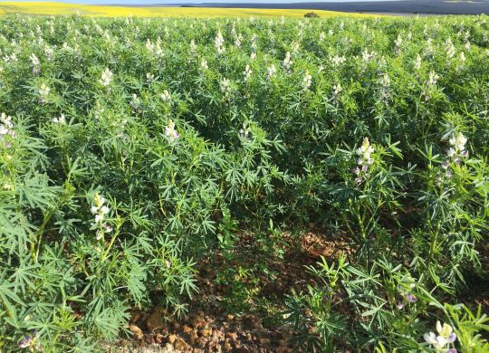 Lupins with Lucerne & Clover on Gravel - Backdrop