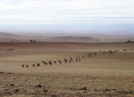 Drought_Cattle_DPIRD
